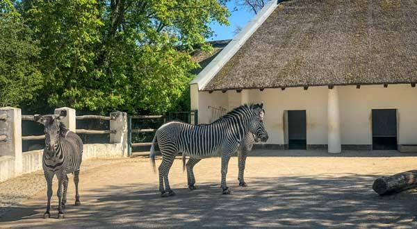 Neues Reetdach für das Zebrahaus im Zoo Berlin von Weichert Dachbau